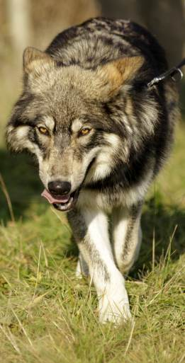 Walking with Wolves | UK Wolf Conservation Trust